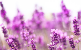 Lavender can help you sleep